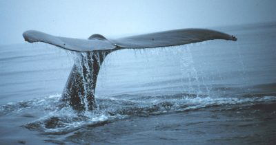 Tail of a Whale (NOAA)